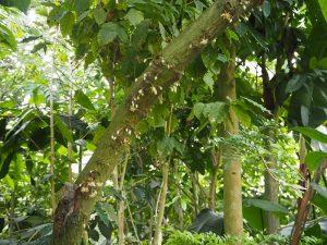 カカオの花 Myrteアロマテラピースクール